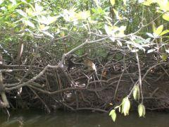 mangroveträd