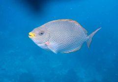 prickig fisk