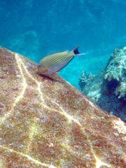 randig fisk