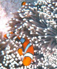 snorkling i Similan Island
