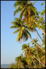 Kokospalmer