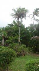 """Palmen med tre """"stammar"""" som det står skyltar till....sådär imponerande ;-)"""